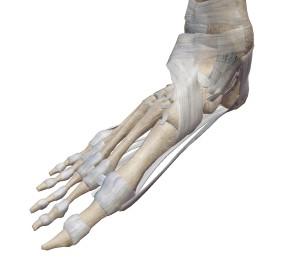 足の骨と靱帯①