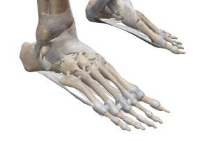 足の骨と靱帯②
